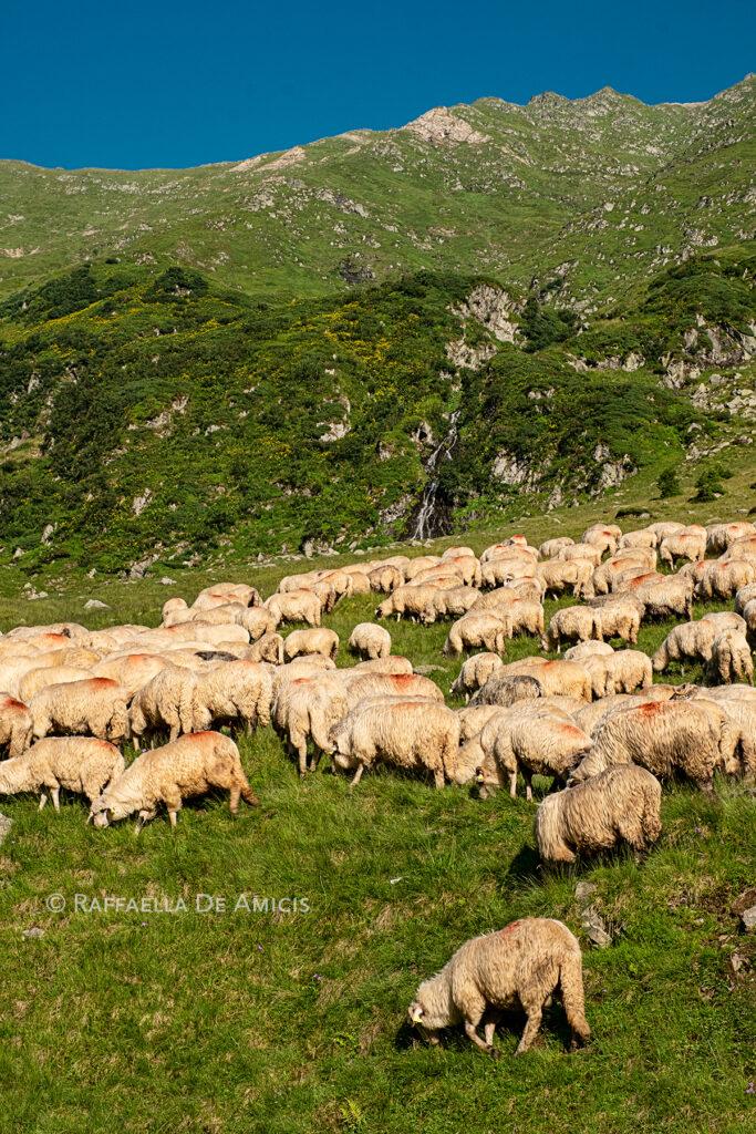 sheep grazing roadside in romania