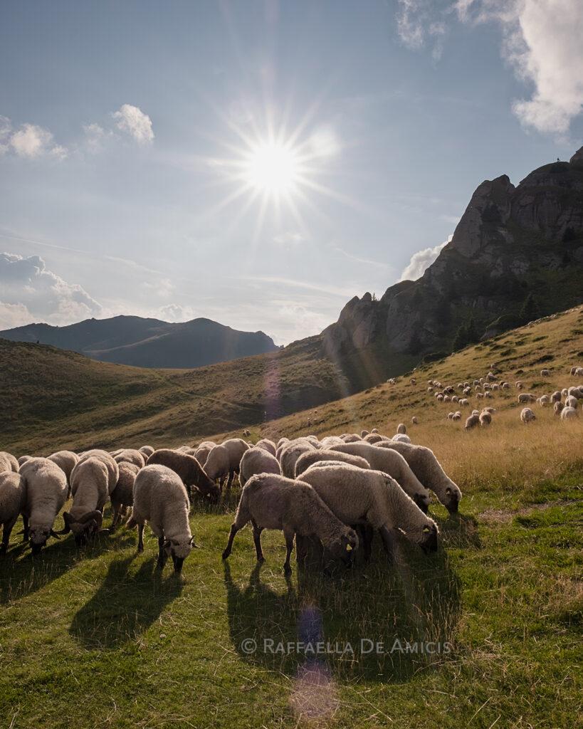 sheep graze the slopes of Ciucas mountains